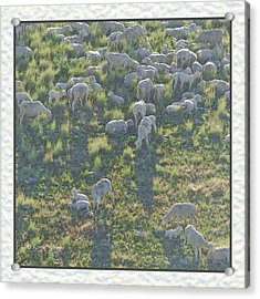 Ewes And Lambs - Digital Painting Acrylic Print by Kae Cheatham