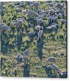 Ewes And Lambs - Original Acrylic Print by Kae Cheatham