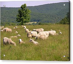 Ewe's Eye View Acrylic Print by Peter Williams