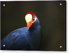 Acrylic Print featuring the photograph Exotic Bird by Heidi Poulin