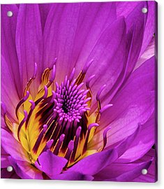 Acrylic Print featuring the photograph Exotic Hot Pink Water Lily Macro by Julie Palencia