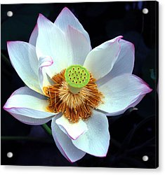 Exotic Lotus Acrylic Print by Blima Efraim