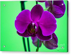 Exposed Orchid Acrylic Print