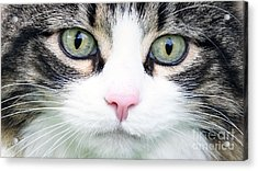 Acrylic Print featuring the painting Expressive Maine Coon D122016 by Mas Art Studio