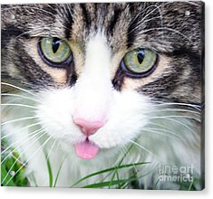 Acrylic Print featuring the photograph Expressive Maine Coon Photo A6217 by Mas Art Studio