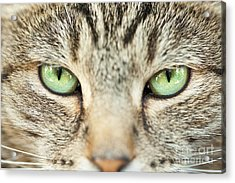 Extreme Close Up Tabby Cat Acrylic Print by Sharon Dominick