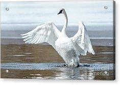 Exultant Trumpeter Swan Acrylic Print by Cheryl Baxter