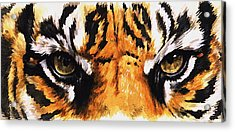 Eye-catching Sumatran Tiger Acrylic Print by Barbara Keith