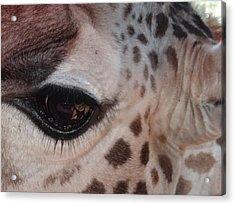 Eye Of A Giraffe Acrylic Print