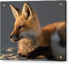 Acrylic Print featuring the photograph Eye Of The Fox by Bill Wakeley