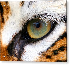 Eye Of The Tiger Acrylic Print by Helen Stapleton