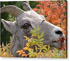 Eye On Ewe Acrylic Print by Katie LaSalle-Lowery
