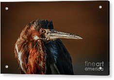 Eye To Eye With Heron Acrylic Print