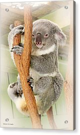 Eye To Eye With Mr. Koala Acrylic Print by Susan Vineyard