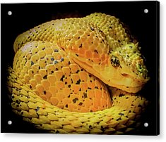 Acrylic Print featuring the photograph Eyelash Viper by Karen Wiles