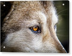 Acrylic Print featuring the photograph Eyes Of The Gray Wolf by Teri Virbickis