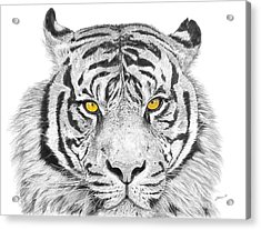 Eyes Of The Tiger Acrylic Print by Shawn Stallings