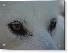 Eyes Of The Wolf - In Her Eyes Acrylic Print by Robyn Stacey