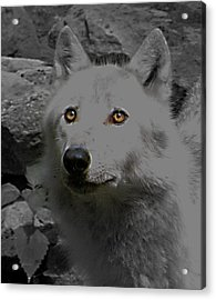 Acrylic Print featuring the photograph Eyes Of The Wolf by Debra     Vatalaro