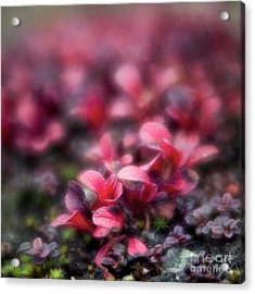 Bearberry Leaves Acrylic Print