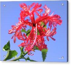 F18 Hawaiian Hibiscus Acrylic Print by Donald k Hall