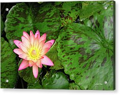 F6 Water Lily Acrylic Print by Donald k Hall