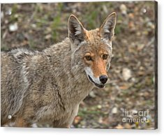 Face Of The American Coyote Acrylic Print by Adam Jewell