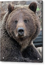 Face Of The Grizzly Acrylic Print
