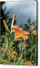 Faded Lily Acrylic Print