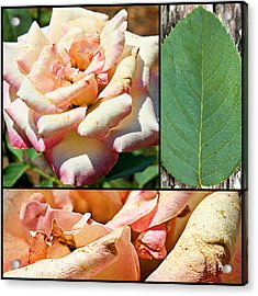 Acrylic Print featuring the photograph Fading Beauty Collage Print by KayeCee Spain