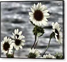 Acrylic Print featuring the photograph Fading Sunflowers by Susan Kinney