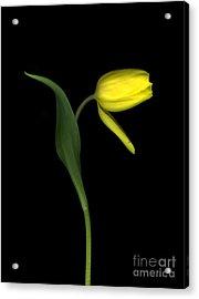 Fading Tulip Acrylic Print by Christian Slanec