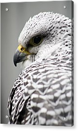 Falcon Acrylic Print by Mindee Green