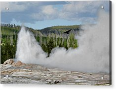 Falcon Over Old Faithful - Geyser Yellowstone National Park Wy Usa Acrylic Print by Christine Till
