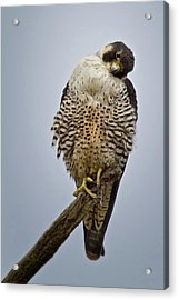 Falcon With Cocked Head Acrylic Print
