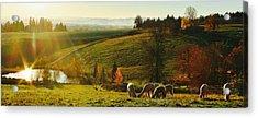 Fall Alpaca Farm Acrylic Print