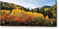 Fall Aspen Scrub Oak And Ponderosa Pine Acrylic Print