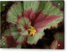 Fall Begonia Acrylic Print