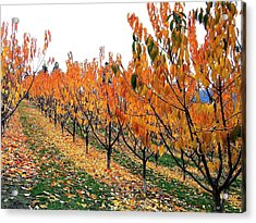 Fall Cherry Orchard Acrylic Print
