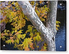 Fall Colors At Slide Rock Arizona- Tree Bark Acrylic Print