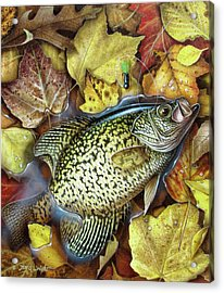 Fall Crappie Acrylic Print by JQ Licensing