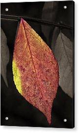 Fall Elder Leaf Acrylic Print