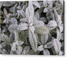 Fall Frost On Plants Acrylic Print by Richard Mitchell
