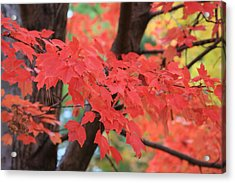 Fall In Red Acrylic Print by Shirin Shahram Badie