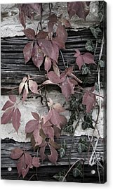 Fall Ivy Acrylic Print by Pete Hellmann