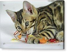Fall Kitten Acrylic Print by Shoal Hollingsworth