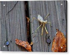 Fall Mantis  Acrylic Print