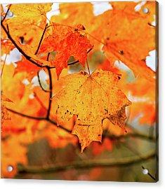 Fall Maple Leaf Acrylic Print