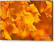 Fall Maple Leaves Acrylic Print by Elena Elisseeva