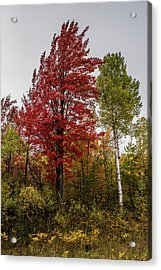 Acrylic Print featuring the photograph Fall Maple by Paul Freidlund
